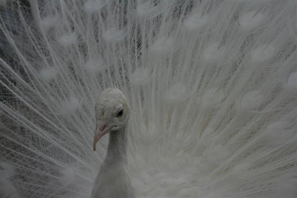 albino peacock close