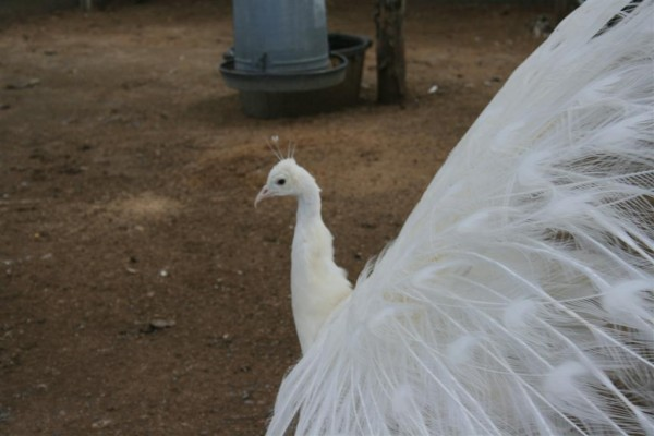albino peacock side view