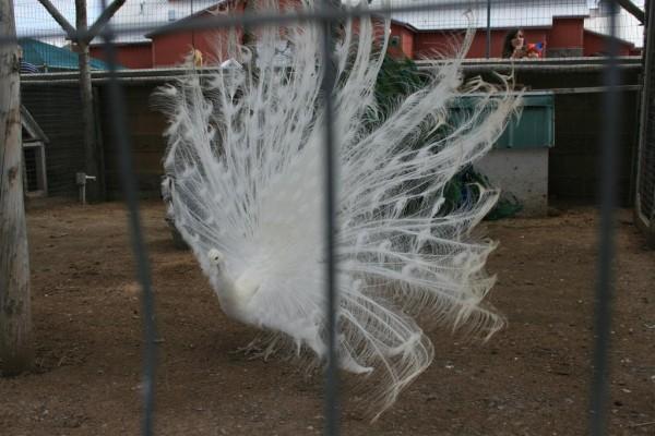 albino peacock far