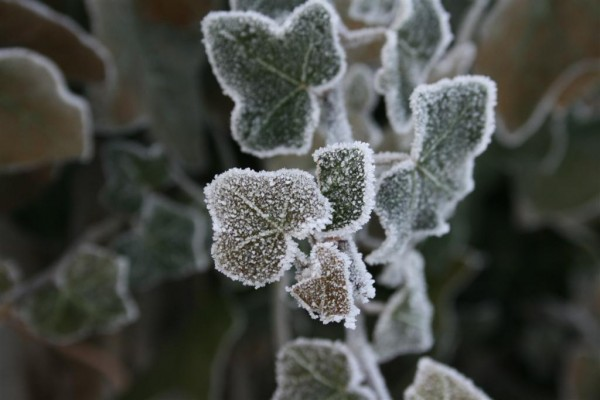 frost on ivy
