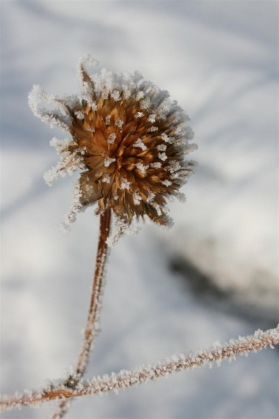 frost on thistle