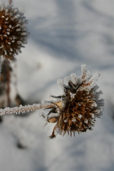 frost on thistles