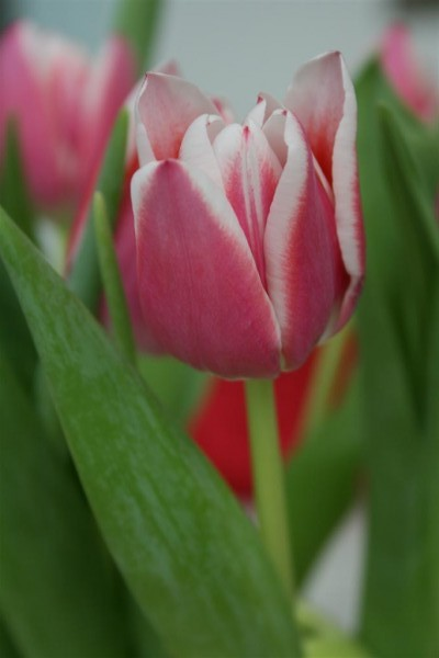 pink tulips 8