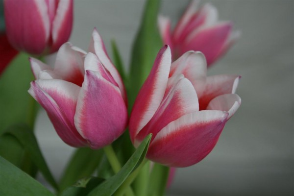 pink tulips 1