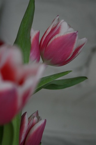 pink tulips 3