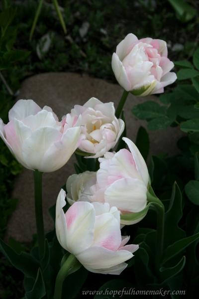 tulipswhite